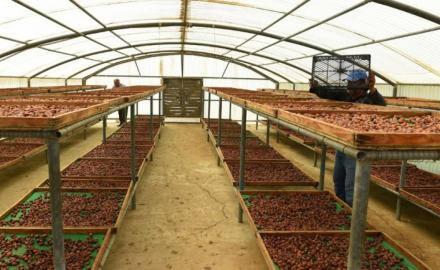 MME aims to enhance quality of dates produced in Qatar