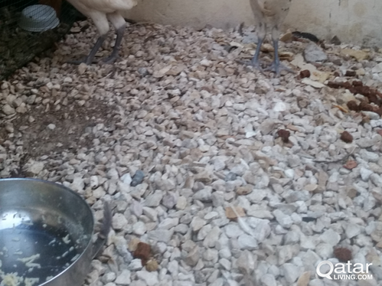 3 Roosters For Sale One for Qr 40