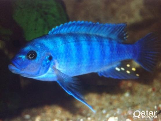 Fish/ Aquarium fish for urgent sale