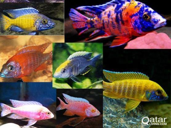 Fish/ Aquarium fish - Different cichlids for sale. Urgent