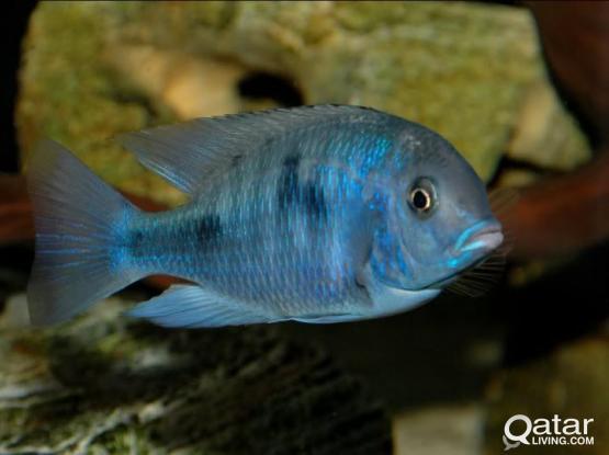 Aquarium fish - Dolphin cichlids for sale.
