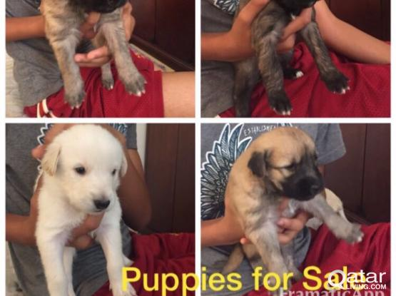 Happy Healthy Puppies for Sale