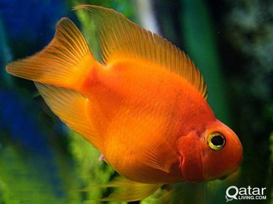 Parrot fish / Aquarium fish