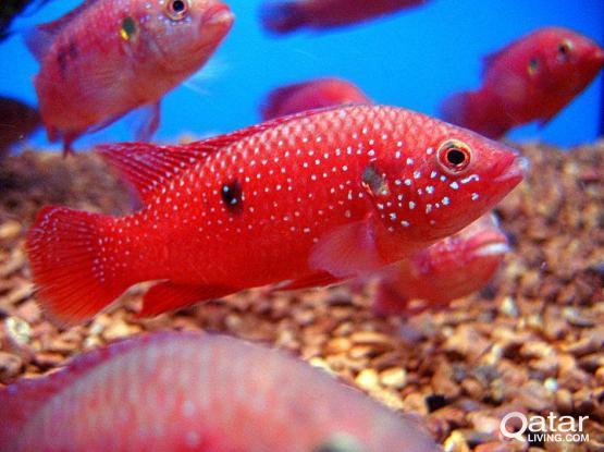 Aquarium fish for sale - Red Jewel cichlids for sale