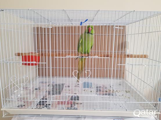 Ringneck Parrot for sale