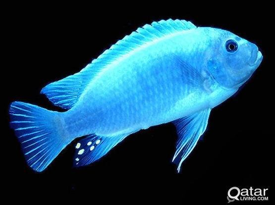 Ice blue cobalt cichlids for sale.