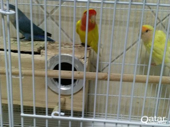2 Love Birds for Sale