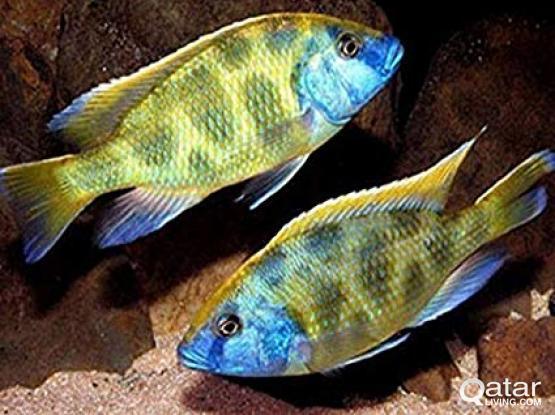 Aquarium fish / Cichlids for sale
