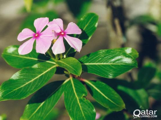 Tulsi/Mint/Tomato/Evergreen Flower/Aloevera Plant for sale