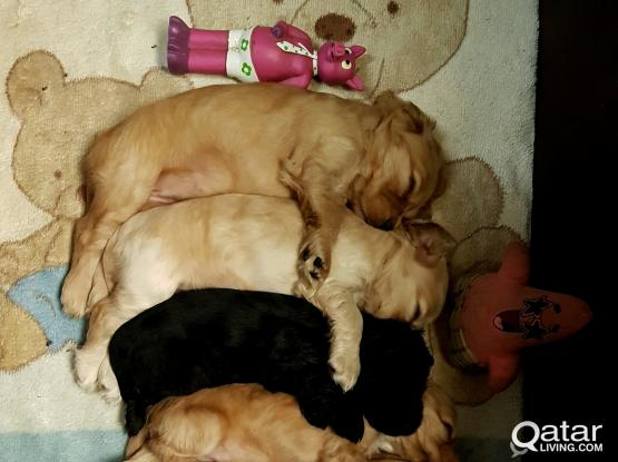 Show quality english cocker spaniel pups for sale