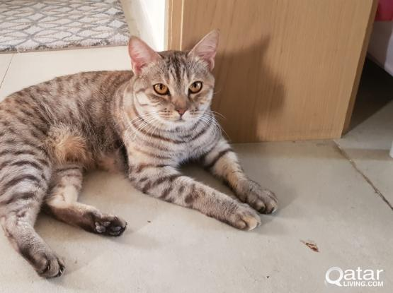 URGENT GIVE PEDIGREE CAT FOR ADOPTION AND FREE FOOD FOR 6 MONTHS