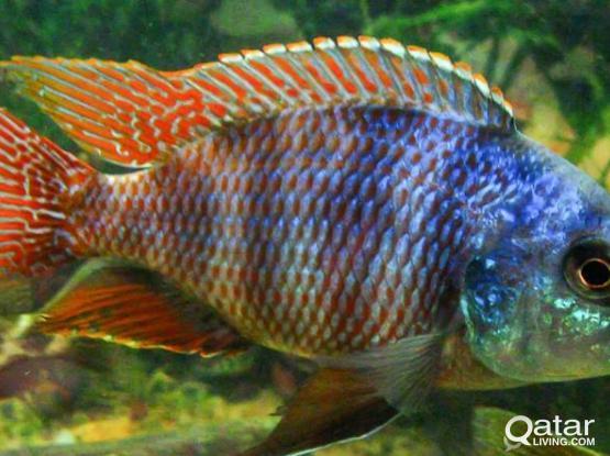 Aquarium fish - Milomos cichlid for sale