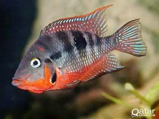 Aquarium fish - Fire mouth cichlid for sale