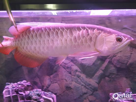AROWNA RED TAILE SUPPER GOLD FISH