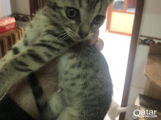 Kitten cats for sale