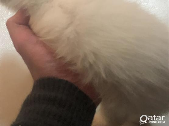 Persian white beautiful kitten for sale
