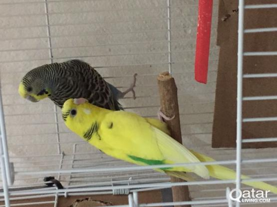 2 Budgie birds for sale with eggs