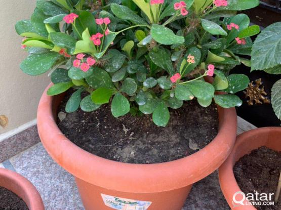 Plant - Crown of Thorns - Pink Flowers