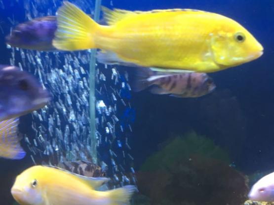 fish cichlids aquarium