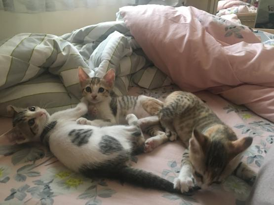 Three 4 month old female kittens