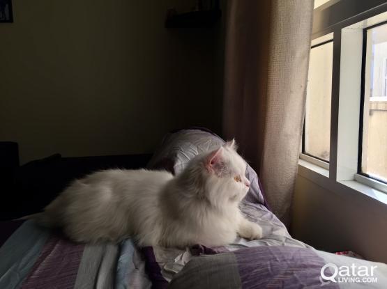 Persian Male Kitten Cat White Shirazi