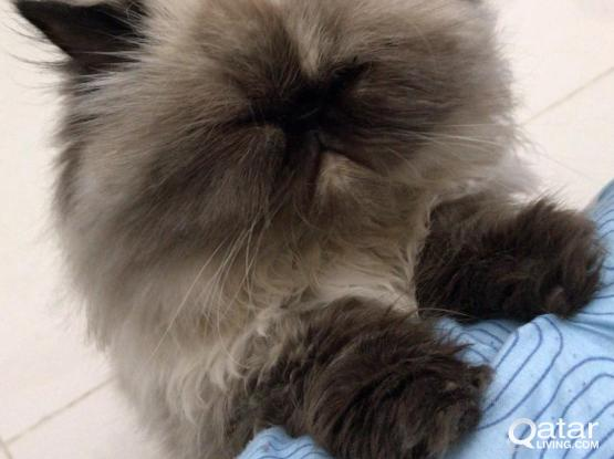 Free Cat (Himalayan Breed)) For Adoption