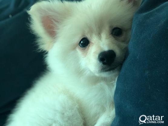 Male Pomeranian- Spitz Puppy Needs a New Home