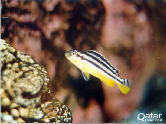Aquarium fish - Auratus cichlid fry for sale