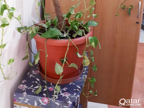 GIANT adult Pothos vine plants + FREE medium pothos