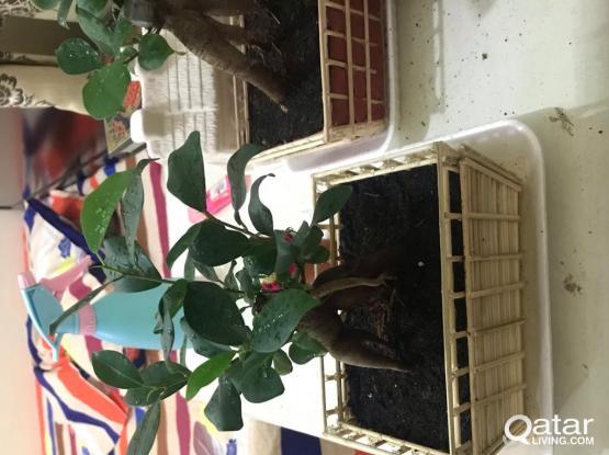Bonsai Ficus Plants for Sale