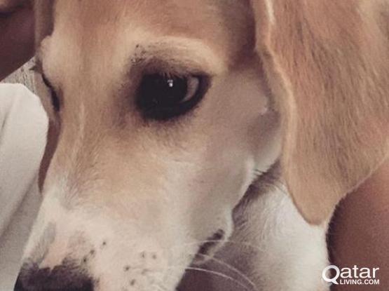 Labrador and golden mix - 3 months old  Dog