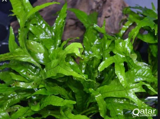 Aquarium/Fish Tank Plants - Java Ferns
