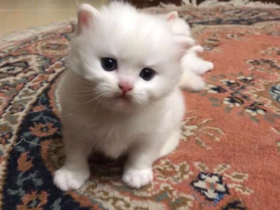 shirazi persian cat