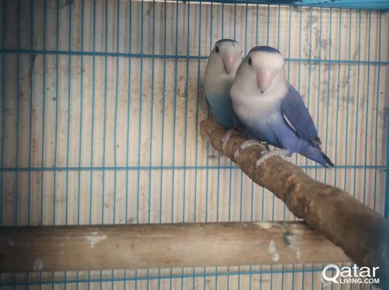 Lover  birds pair