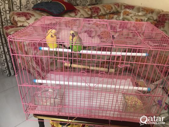 2 Birds with cage  for sale