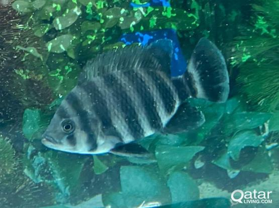 Fresh Water Cichlid For Sale Or Swap