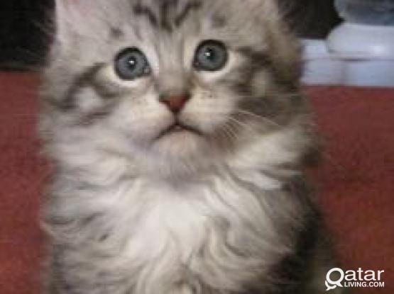 Maine Coon Cat required