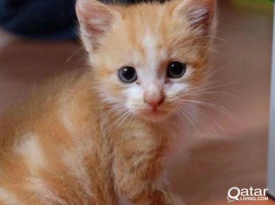 Mix Breed Cat