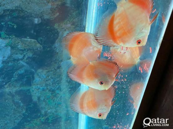 Aquarium Discus Fish For Sale