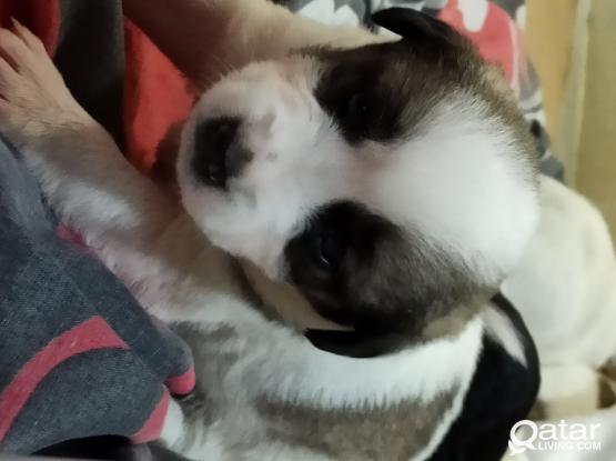 Puppies for urgent sale