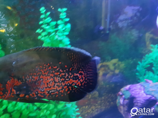Albino and Tiger Oscar fish for sale / Aquarium