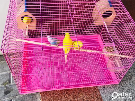 4 LOVE BIRDS WITH CAGE FOR SALE