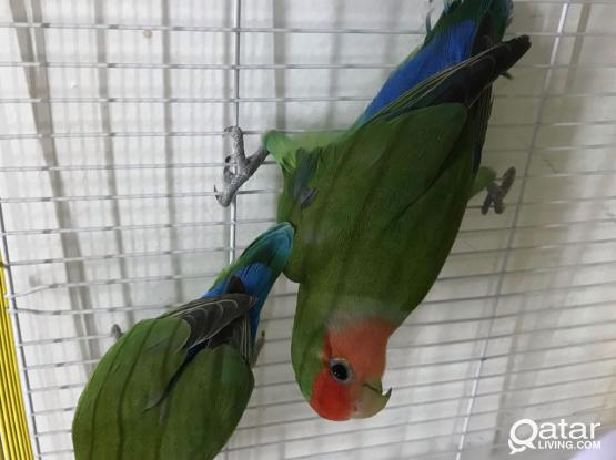 2 Love Birds With Cage
