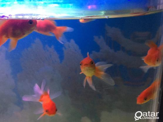 Gold fish for sale !!