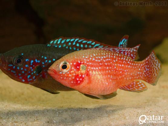 Red Jewel Breading pair Aquarium Fish