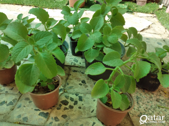 Ajwain healty plants