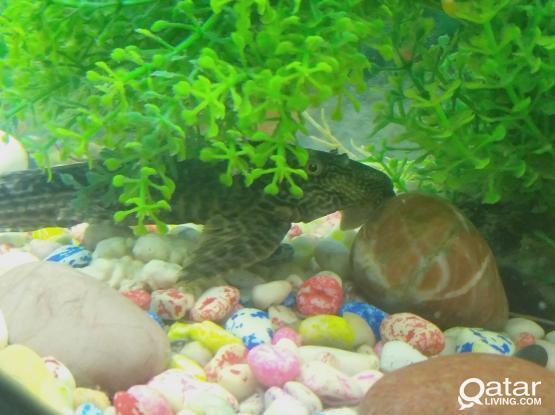 Aqurium fish for sale