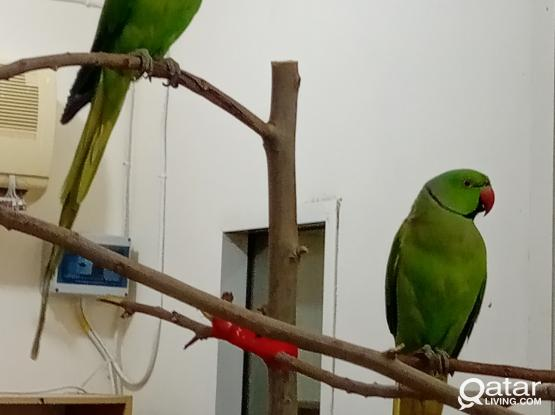 friendly healthy male and female green parrots