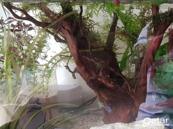 Big Driftwood for sale with plants