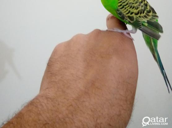 tamed friendly male budgie bird